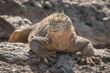Land Iguana Portrait