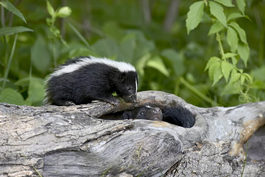 Striped skunk (Mephitis mephitis) baby on log with adult in log, in captivity, Sandstone, Minnesota