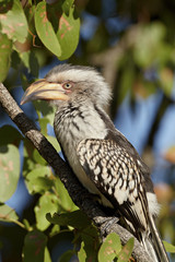 Immature Southern yellow-billed hornbill (Tockus leucomelas), Kruger National Park, South Africa, Africa