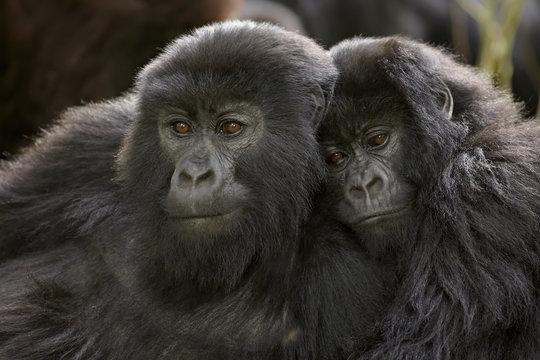 Two juvenile mountain gorillas (Gorilla gorilla beringei) of the Umubano group, Volcanoes National Park, Rwanda