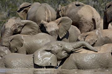 Group of African elephant (Loxodonta africana) mud bathing, Addo Elephant National Park, South Africa, Africa