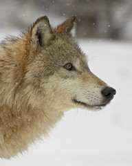 Gray wolf (Canis lupus) in snow, near Bozeman, Montana, United States of America, North America