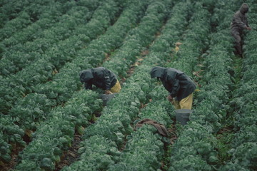 Harvesting Brussels sprouts, California, United States of America, North America