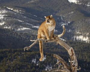 Mountain Lion or Cougar (Felis concolor) on tree