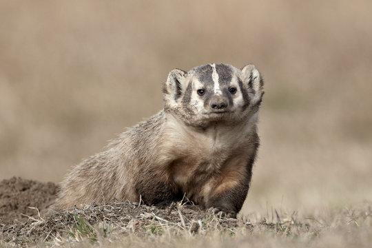 Badger (Taxidea taxus), Custer State Park, South Dakota