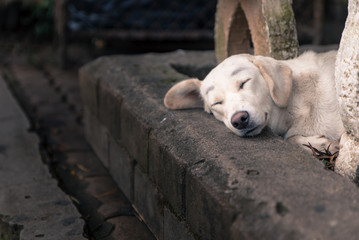Lonely homeless white dog sleeping on path in dramatic tone
