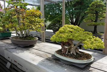 Bonsai and Penjing landscape with miniature deciduous maple trees in trays