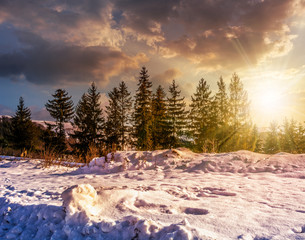 spruce forest on snowy meadow at sunset