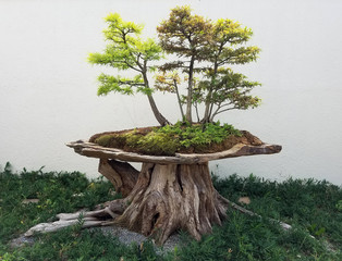 Bonsai and Penjing landscape with miniature deciduous maple trees in a tray