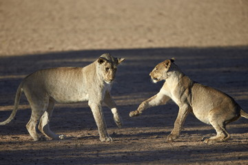 Lions playing in Kgalagadi Transfrontier Park