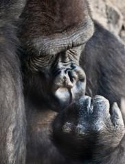 Gorila de costa
