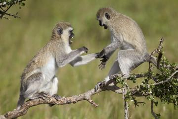 Two vervet monkeys (Chlorocebus aethiops) playing, Serengeti National Park, Tanzania, East Africa, Africa