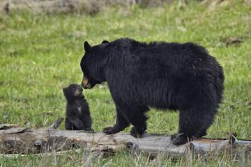 Black bears (Ursus americanus), Yellowstone National Park