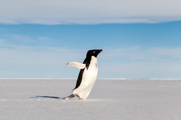 Adelie penguin running on ice