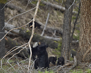 Black bear sow and cubs in forest, Yellowstone National Park, Wyoming, USA