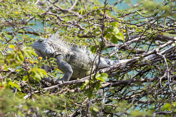 Leguan im Baum
