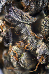 Macro detail of cannabis bud with visible hairs and trichomes, m
