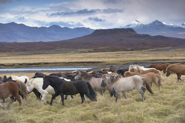 Icelandic horses near Snorrastadir, Eldborg volcano, snow-covered peaks of Ljosufjoll and Eldborg volcano visible behind, Snaefellsnes Peninsula, West Iceland, Iceland, Polar Regions