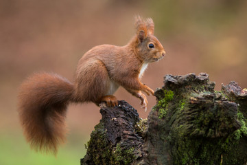 Poster Squirrel Red Squirrel