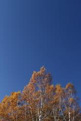 秋空と白樺林