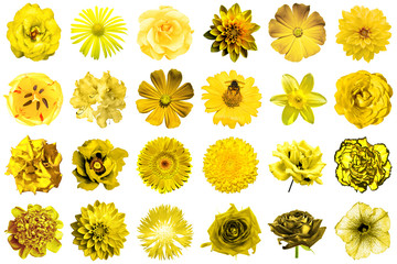 Collage of natural and surreal yellow flowers 24 in 1: peony, dahlia, primula, aster, daisy, rose, gerbera, clove, chrysanthemum, cornflower, flax, pelargonium, marigold, tulip isolated on white