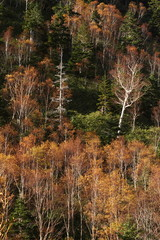秋の岳樺林