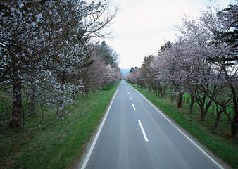 Row of Cherry Tree