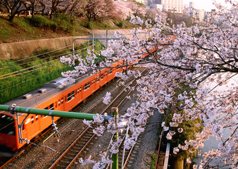 Cherry Blossom and Electric Train