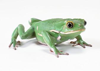 Monkey Tree Frog