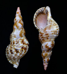 Clamshell of the Triton's trumpet or the Giant triton (Charonia tritonis) on a dark background