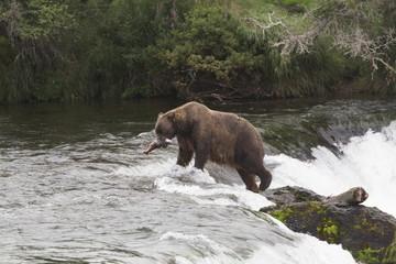 Grizzly bear (Ursus Arctos), Brooks Falls, Katmai National Park, Alaska, United States of America, North America