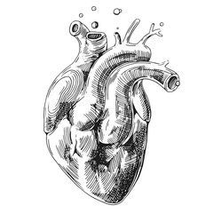 sketch of human heart
