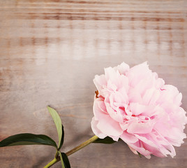 Pink Peony Flower on Brown Wooden Background