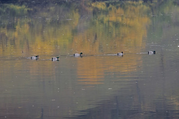 Nile geese in the Danube river