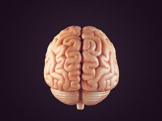 Realistic brain illustration