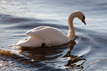 Swan drinking water in a lake