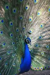 Peacock, Thessalonica, Macedonia, Greece, Europe