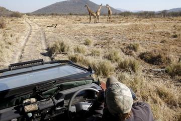 Safari vehicle and giraffes, Madikwe game reserve, Madikwe, South Africa, Africa
