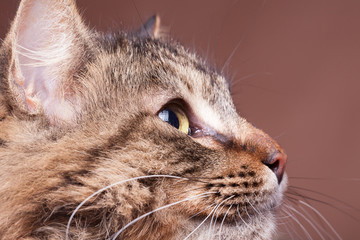 Maine coon breed cat looking away from camera in studio photo