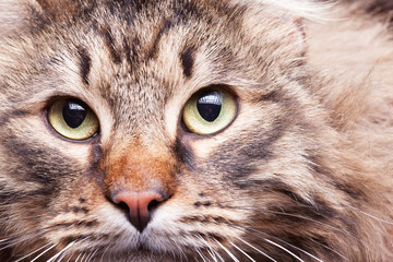 Close up image of maine coon breed looking in the camera