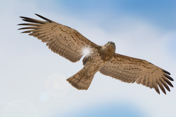 Bird of prey in flight on blue sky clouds background. Low angle view of Short-toed snake eagle (Circaetus gallicus) flying in blue sky with sun ray