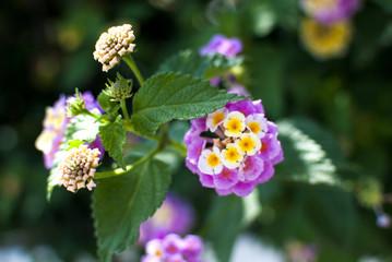 blooming lantana in the garden