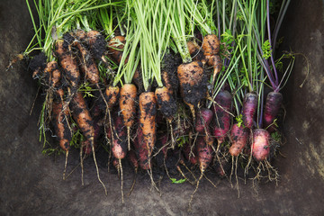 A bunch of freshly pulled carrots with mud on the vegetables.