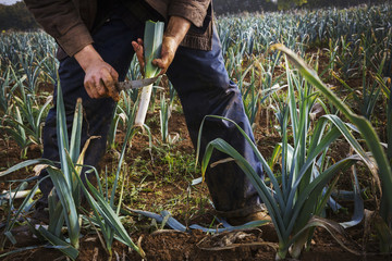 A man lifting fresh leeks from the soil and trimming the ends.
