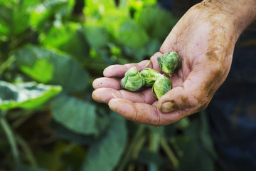A man holding three small brussel sprouts in his hand.