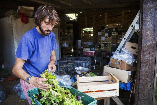 A man packing fresh salad into bags in a farm barn.