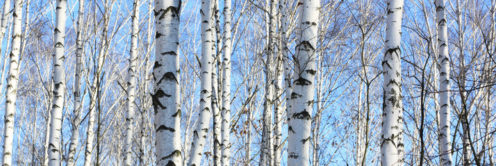 Beautiful landscape with white birches. Birch trees in bright sunshine. Birch grove in autumn. The trunks of birch trees with white bark. Birch trees trunks. Beautiful panorama. Wall mural