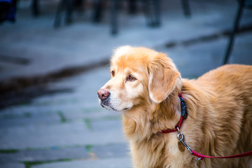 Golden retrivier dog portrait