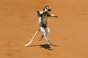 Leaping verreauxi lemur (Verreaux's Sifaka), Berenty Private Reserve, Madagascar, Africa
