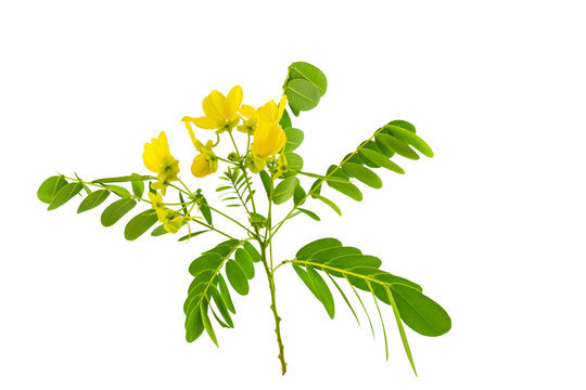 Closed up yellow flower American Cassia or Golden Wonder isolated on white.Saved with clipping path.